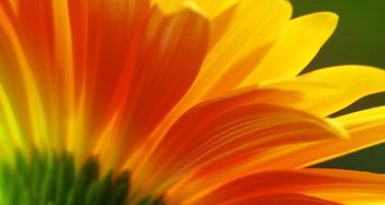 Strahlend orangefarbene Gerbera